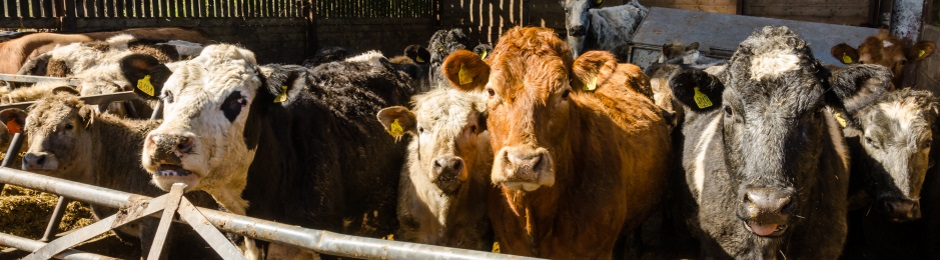 Cattle in Shed