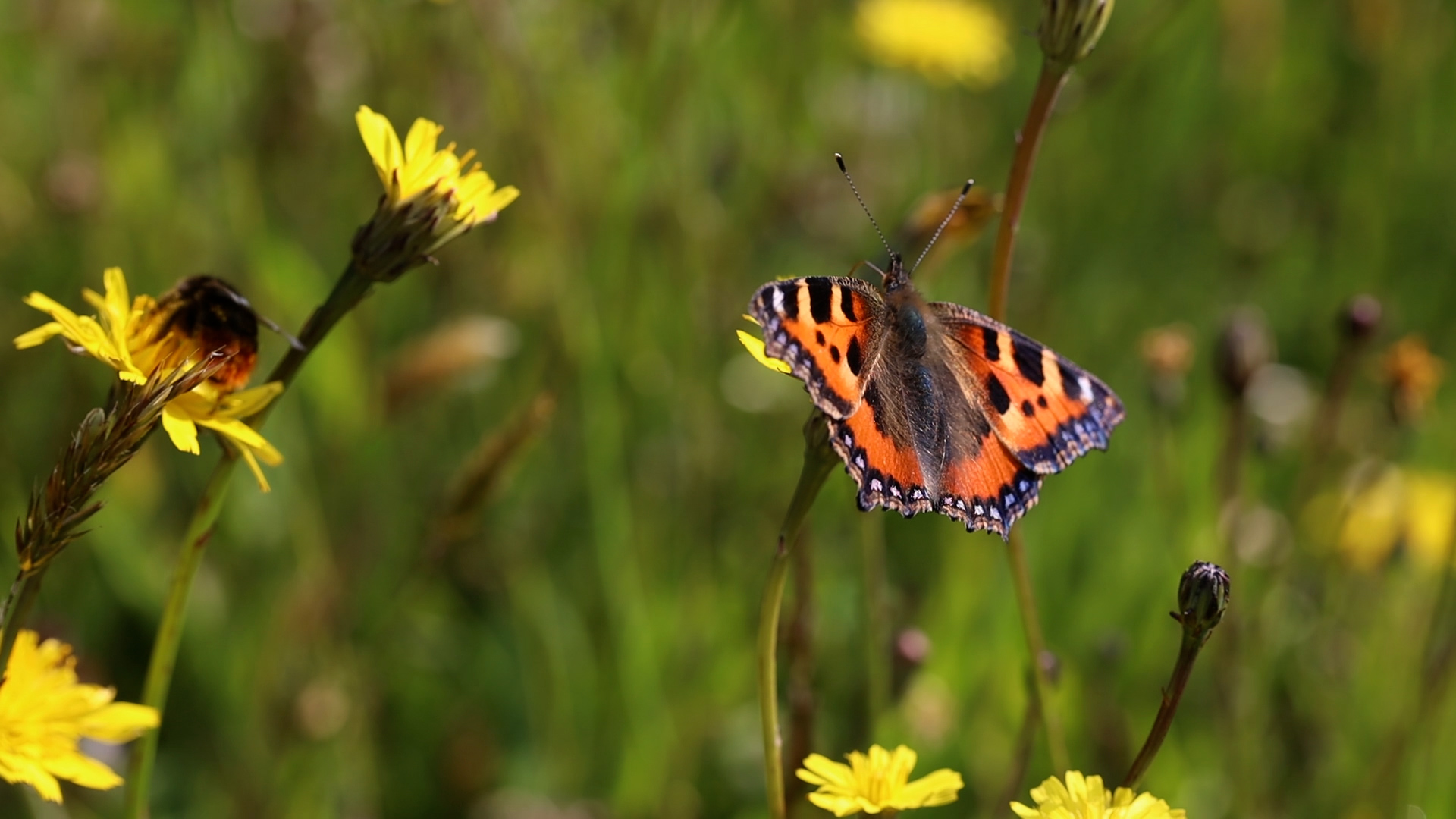 Small-Tortoiseshell-butterfly-and-red-tailed-bumblebee-in-meadow-Robbie-Phillips.jpg