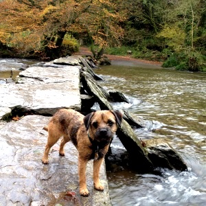 Dog at Tarr Steps