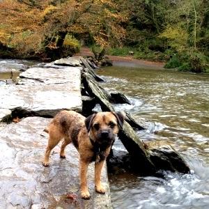 Dog at Tarr Steps